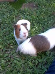 Poupouille, rongeur Cochon d'Inde