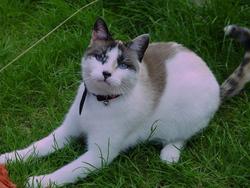 Poupouille, chat Gouttière