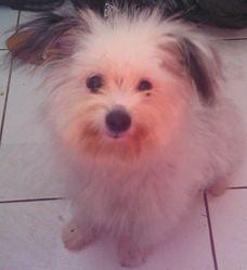 Poupoune, chien Bichon bolonais
