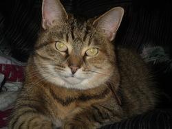 Poupoune, chat Gouttière