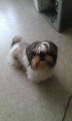 Pouppy, chien Shih Tzu