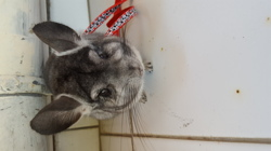 Poupy, rongeur Chinchilla