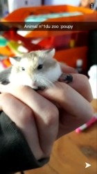 Poupy, rongeur Hamster