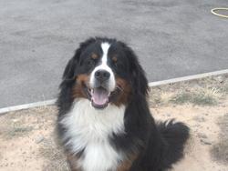 Poupy, chien Bouvier bernois