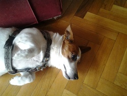 Poussin, chien Jack Russell Terrier