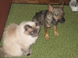 Poussy, chat Ragdoll
