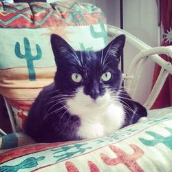 Poussy Cat, chat