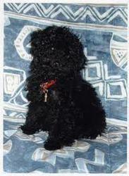 Poutchi , chien Caniche