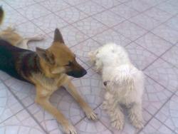Poutchi, chien Caniche