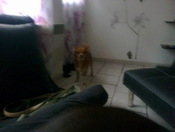 Poutchi, chien Épagneul japonais
