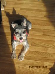Poutchie, chien Schnauzer