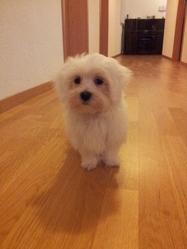 Poutchy, chien Bichon maltais