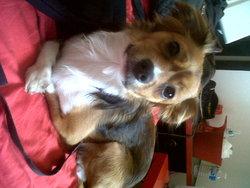 Poutsy, chien Chihuahua