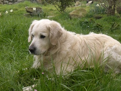 Powow, chien Golden Retriever