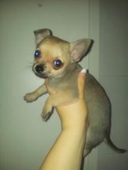 Prada, chien Chihuahua