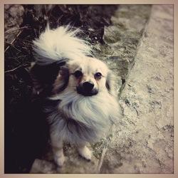 Prada, chien Spitz allemand