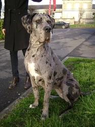 Pradjane, chien Dogue allemand
