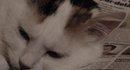 Praline, chat Européen