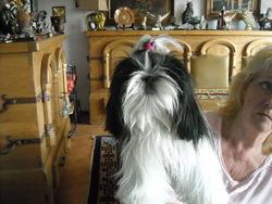 Praline, chien Shih Tzu