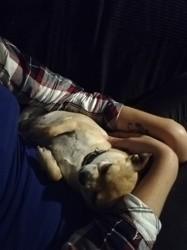 Praline, chien Labrador Retriever