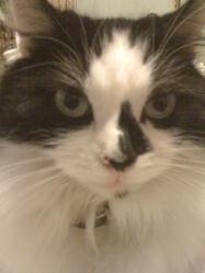 Praline, chat Angora turc