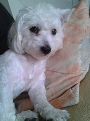 Praline, chien Coton de Tuléar