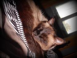 Praline, chat Siamois