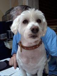 Praline, chien Bichon maltais