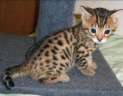 Praline, chat Bengal
