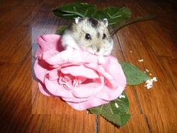 Praline, rongeur Hamster