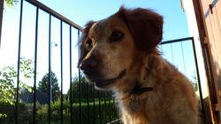Praline, chien Épagneul breton