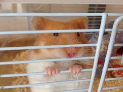 Praline , rongeur Hamster