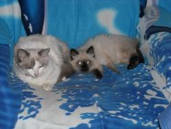 Praline , chat Siamois
