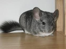 Praline, rongeur Chinchilla