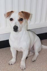 Praline, chien Jack Russell Terrier