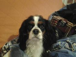 Praline, chien Cavalier King Charles Spaniel