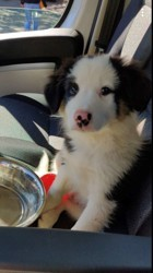 Presley, chiot Border Collie