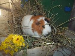 Presley, rongeur Cochon d'Inde