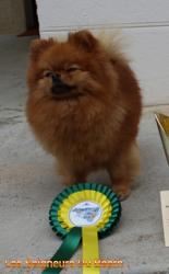 Prestizh Mistral Lua, chien Spitz allemand