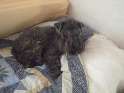 Pretty, chien Kerry Blue Terrier