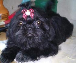 Pretty, chien Shih Tzu