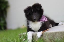 Pretty Joon, chiot Berger des Shetland
