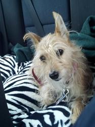 Pretzel, chien Jack Russell Terrier