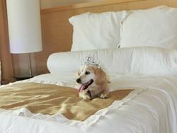 Pricesse, chien Basset des Alpes