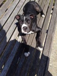 Primo, chien American Staffordshire Terrier