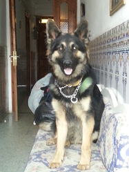 Prince , chien Berger allemand