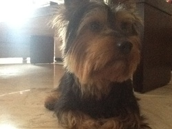 Prince, chien Yorkshire Terrier