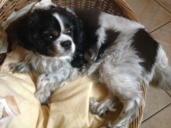 Prince, chien Cavalier King Charles Spaniel