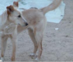 Prince, chien Berger de l'Atlas