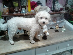 Prince, chien Bichon à poil frisé